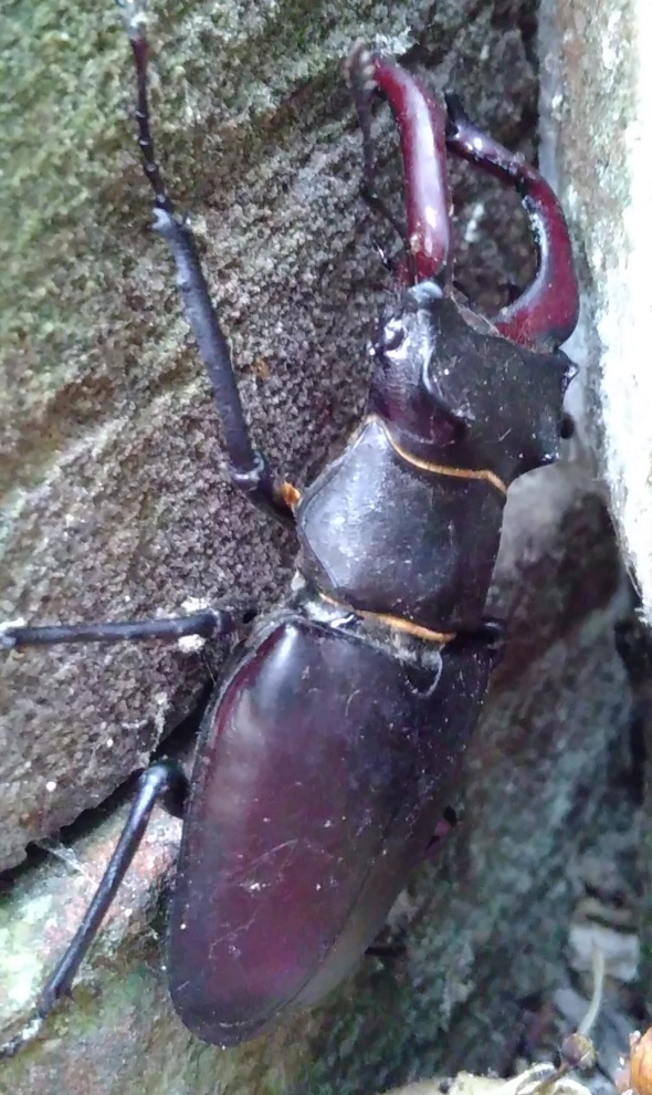 20170608 Stag Beetle at Rebecca Cottage (3) cropped