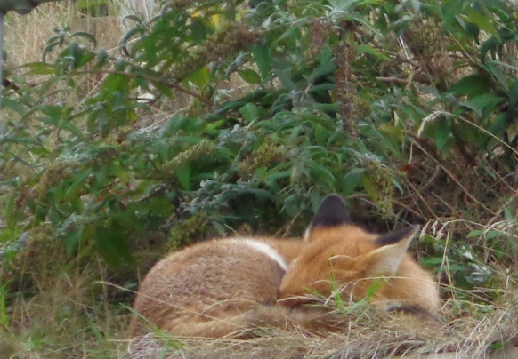 Fox (3) 2015-10-23 cropped